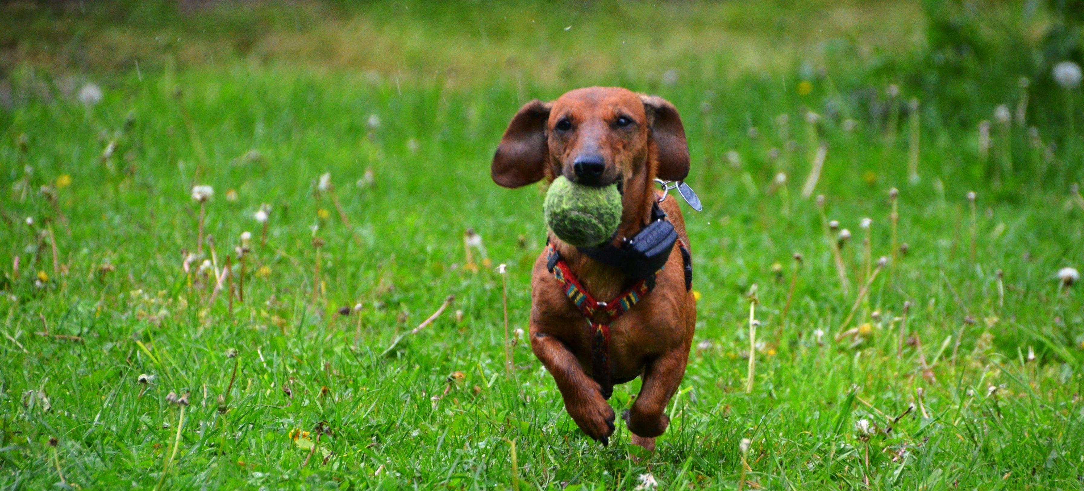 dachshund-361560-e1522254687614